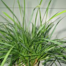 13C Ryegrass