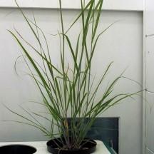 CSwitchgrass