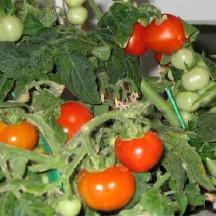 13C Tomato