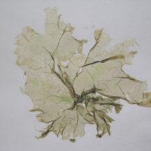 Monostroma latissimum
