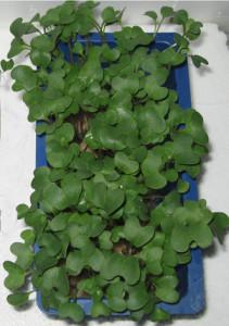 Broccocress uit 13C zaad