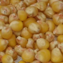 13C Maize seed
