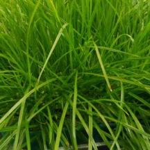 13C/15N Perennial ryegrass