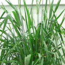 13C/15N Wheat
