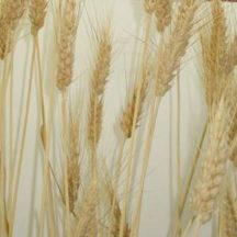 Senesced Wheat leaf