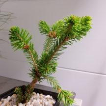 13C Picea abies